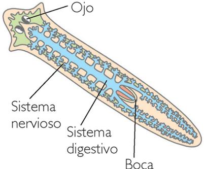 sistema digestivo del gusano plano