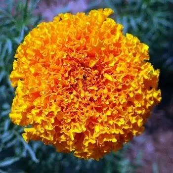 पिवळा झेंडू, Marigold Flowers Name In Marathi