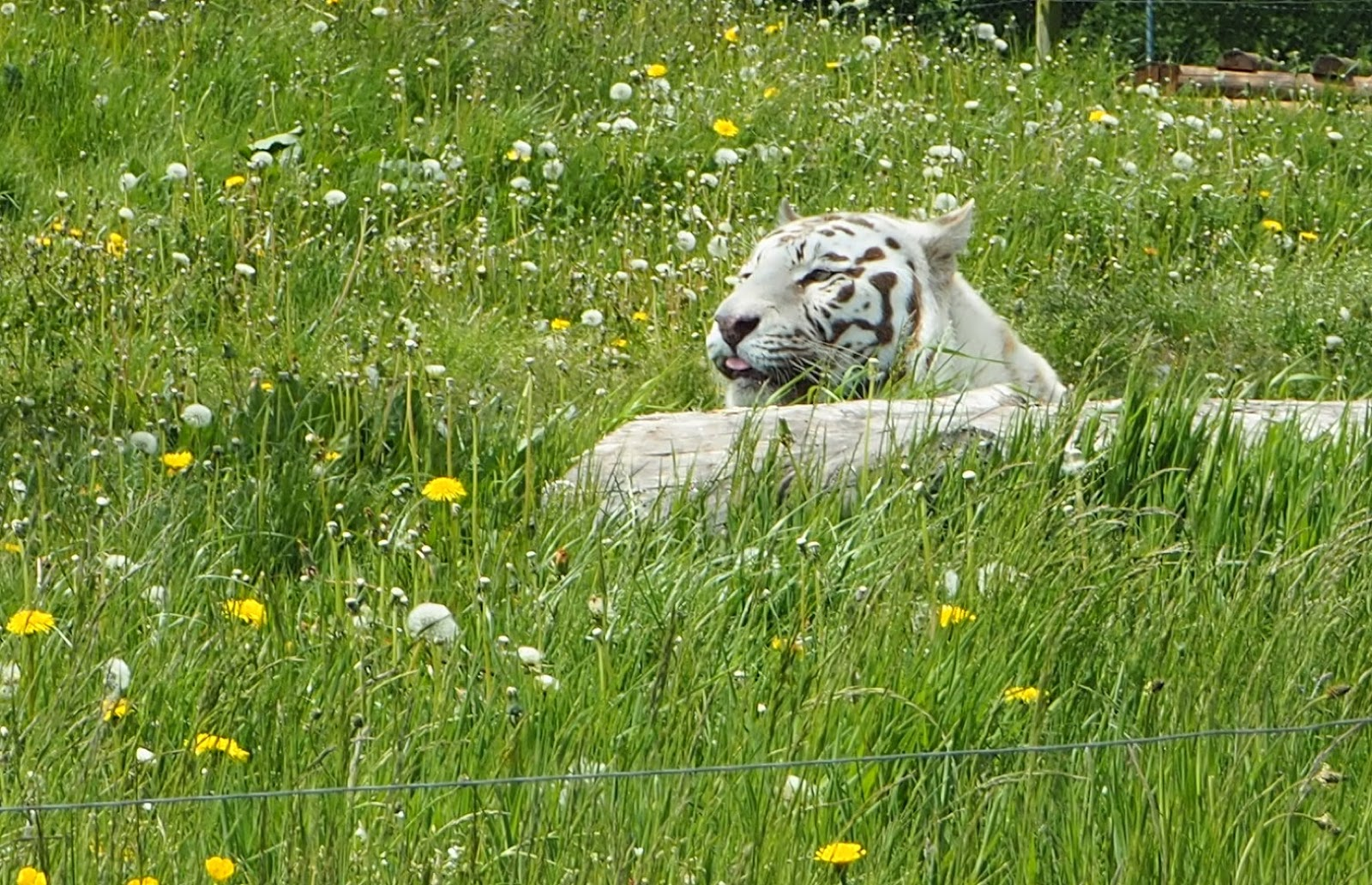 west midland safari park white tiger