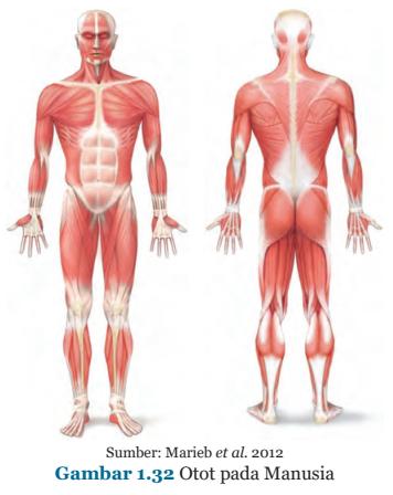 Gambar 1.32 Otot Pada Manusia