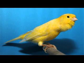 ciri-ciri  burung kenari kalitan