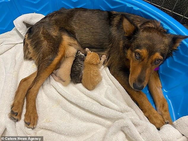 Собака решила выкормить осиротевших котят