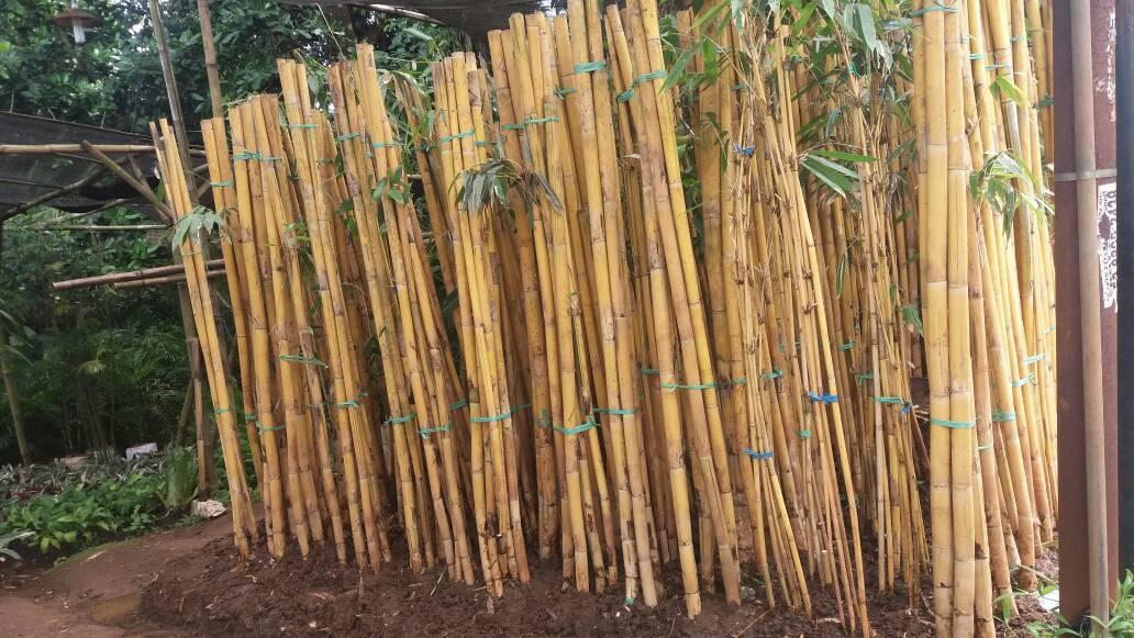 Pohon Bambu Kuning Panda Jual Harga Bambu Kuning Panda