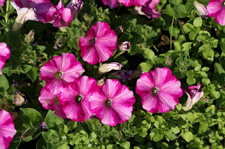 Petunia x Hybrida 'Supertunia Raspberry Blast'