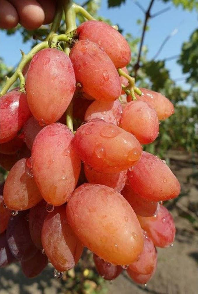 bibit anggur import cutting grafting sudahtumbuh Jawa Barat