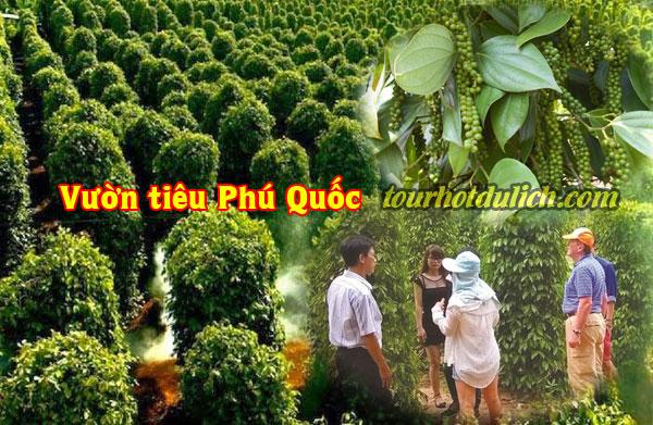 Cách trồng Hồ tiêu tại Phú Quốc