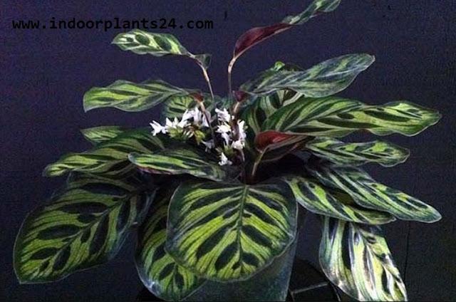 Calathea makoyana Marantaceae  PEACOCK PLANT