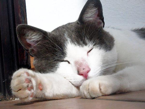 white and grey cat sleeping