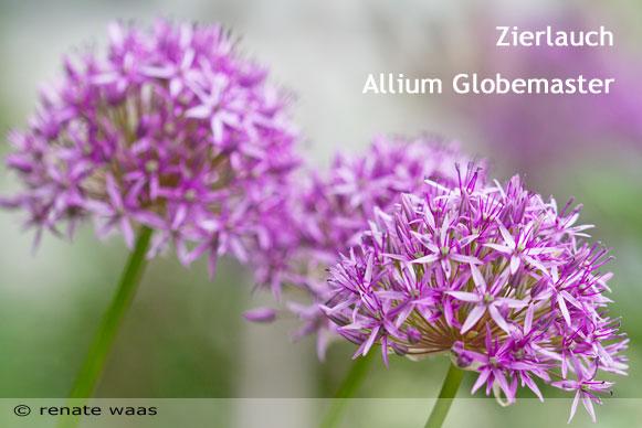 Bepflanzung für einen modernen Landhausgarten - Allium