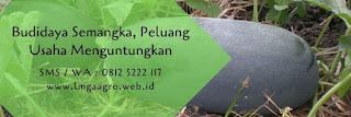 cara menanam semangka di sawah, semangka passport, manfaat semangka kuning, jual benih semangka, benih pertiwi, toko pertanian, toko online, lmga agro