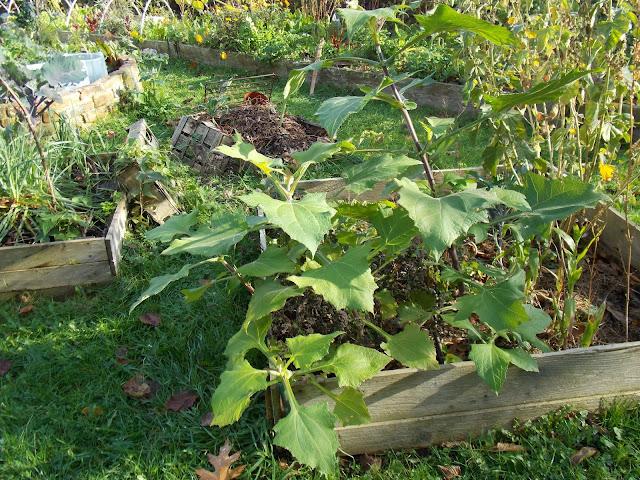 La récolte de poire de terre