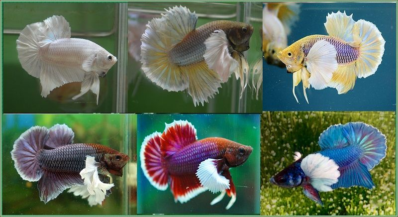 Image Betta Fish Colors