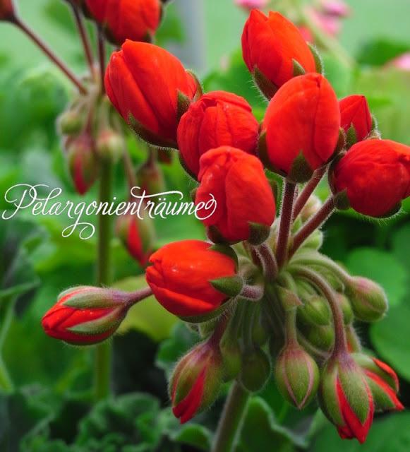 Tulpengeranie-Tulpenpelargonien-Pelargonientraeume