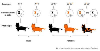 Kucing bisa Belang tiga