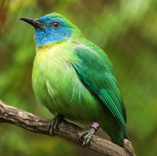 Burung Kinoi,Cucak Ijo Kecil Suara Tajam