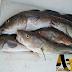 BACALAO (Variedad de Pescado)