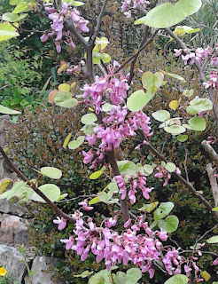 Cercis siliquastrum (Judas Tree) in flower