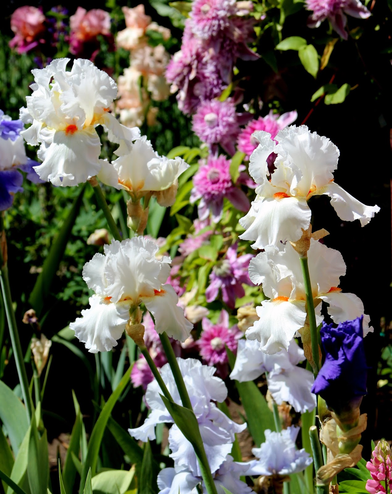 World Of Irises December 2016