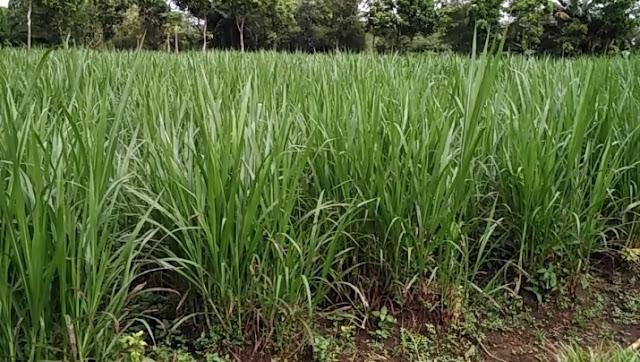 Pada awalnya tanaman rumput gajah hanya dikenal sebagai tanaman rumput liar Tips Pemeliharaan Tanaman Rumput Gajah Untuk Pakan Ternak