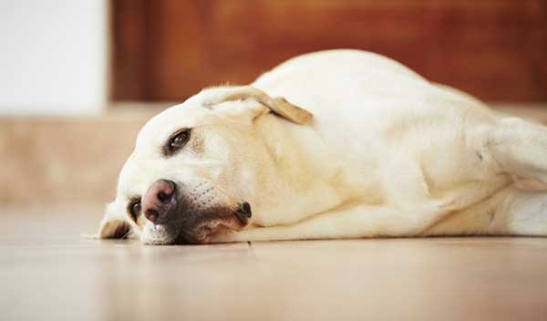 Chó Bị Ngộ Độc Thuốc Diệt Chuột