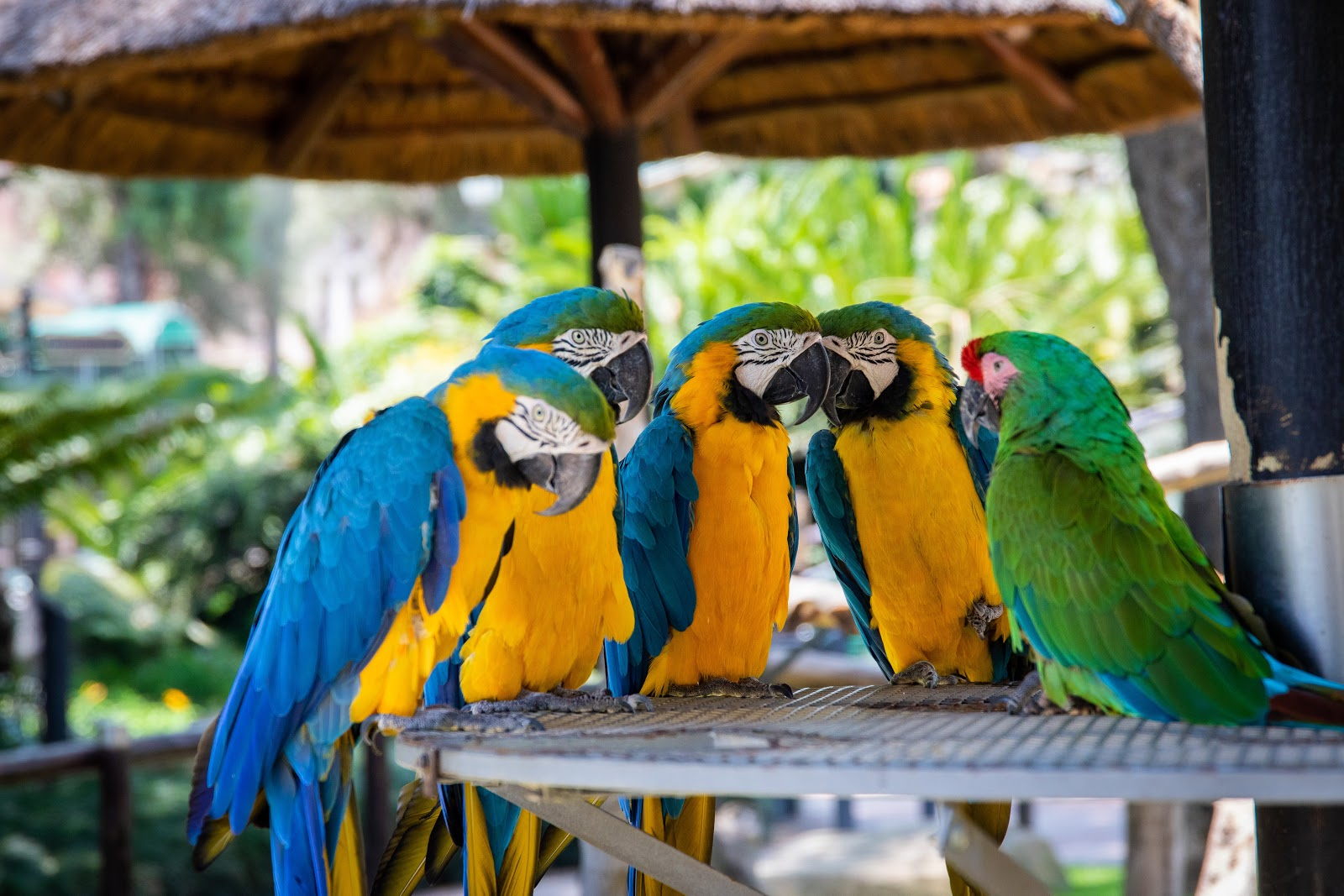 five-parrots-perched-on-brown-wooden-surface-birds-pictures