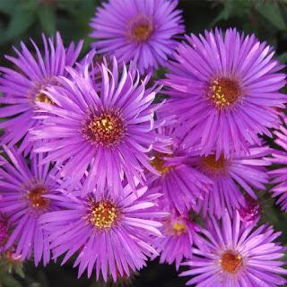 Gambar Bunga Aster yang Cantik 8