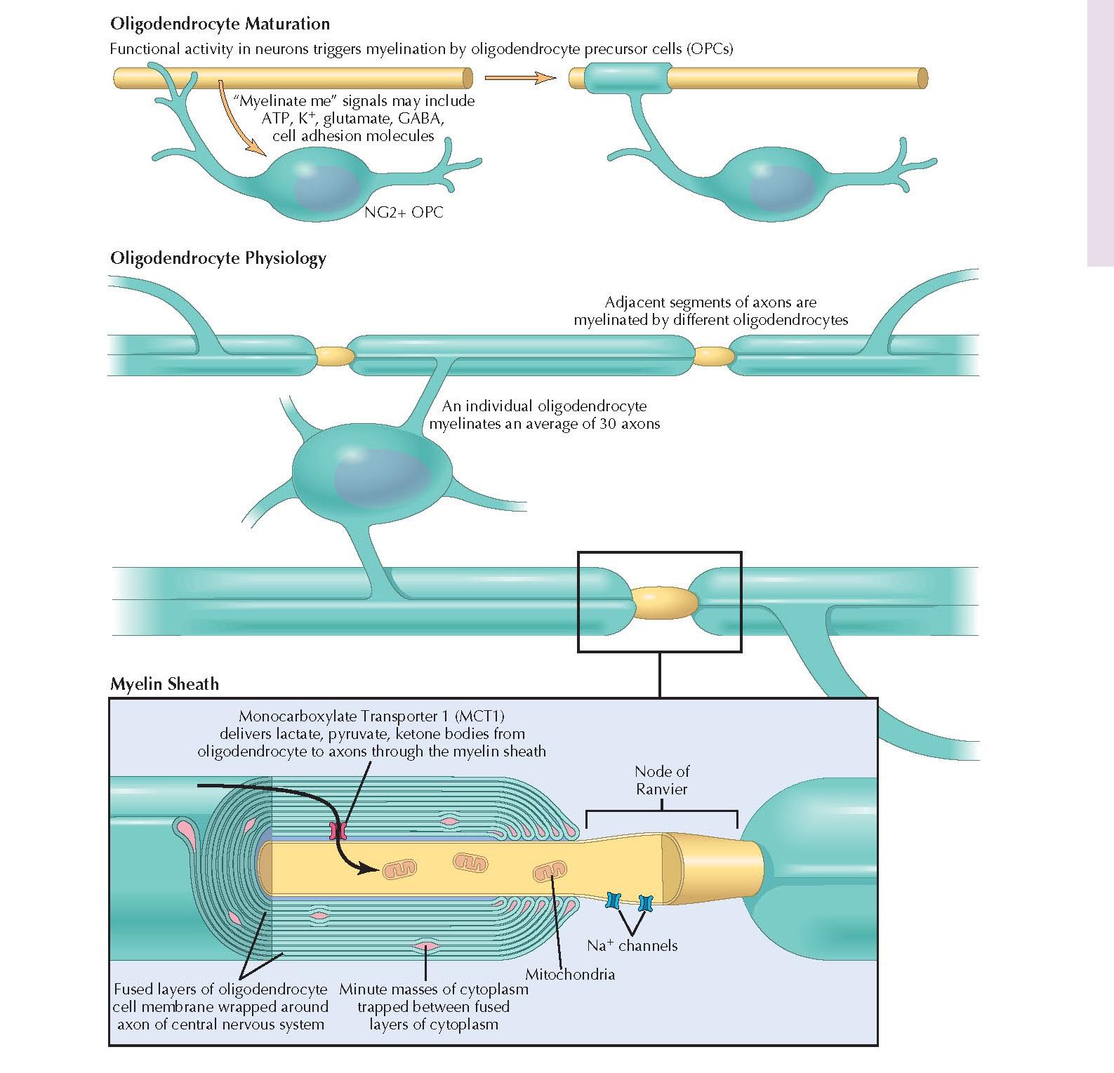 OLIGODENDROCYTE BIOLOGY