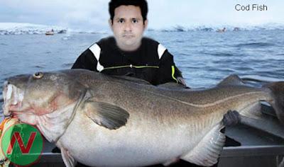 codfish, cod