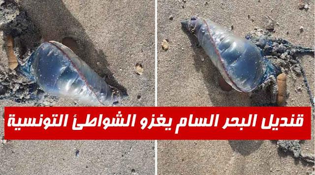تونس/ بالفيديو ... تم رصده في رادس وأميلكار وبوقرنين : تحذيرات من قنديل البحر السام