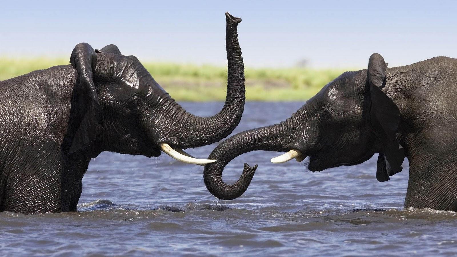 olifanten achtergronden bureaublad - photo #21