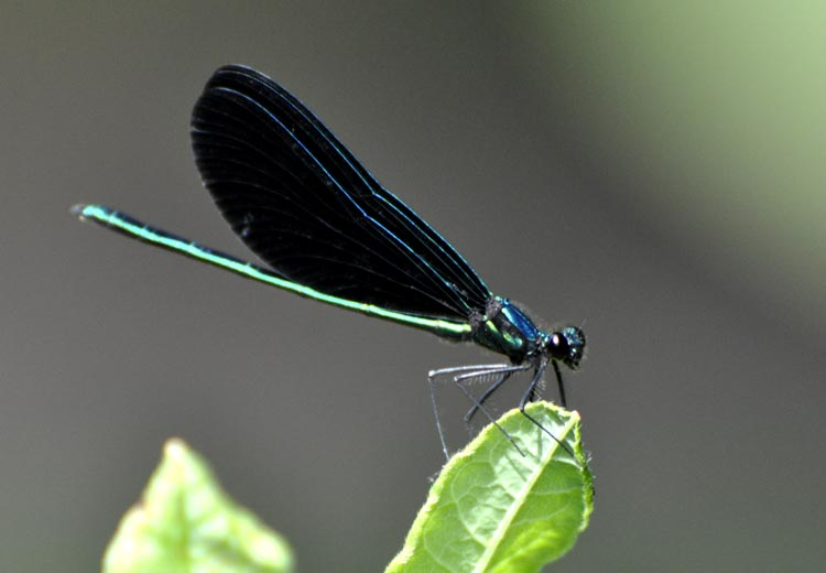 Black winged dragonfly - photo#3
