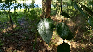 Betula nigra (river birch) tree leaves new orleans louisiana