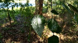 Betula nigra (river birch) tree leaves new orleans louisiana
