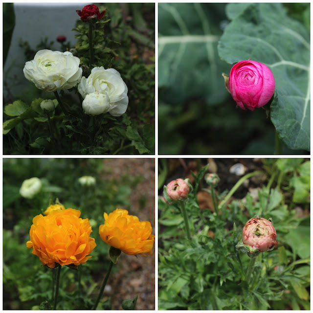 A collage of four ranunculus flowers, white, pink, yellow and apricot