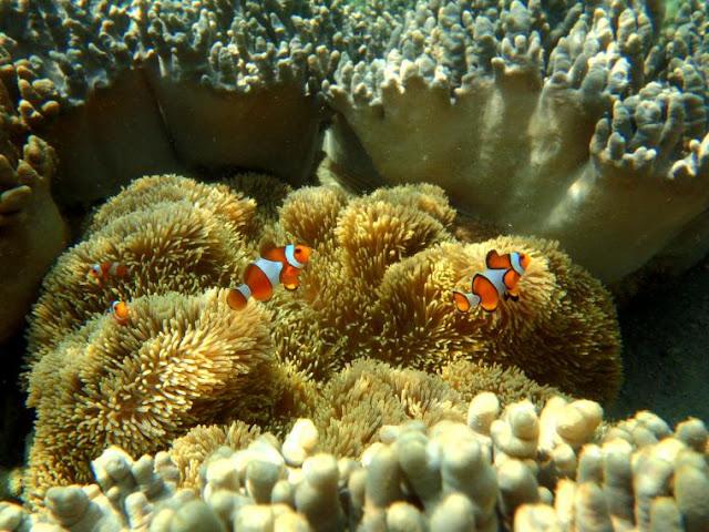Klik untuk Melihat Ikan Badut di Pahawang