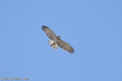 Àguila marcenca en migració