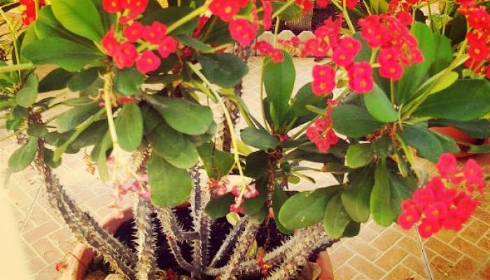 Plantas de jardin corona
