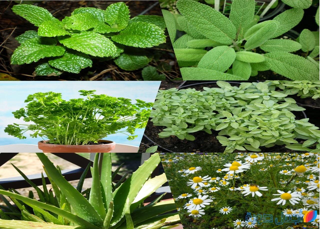 النباتات الطبية يمكن زراعتها في المنزل