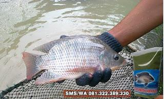 Umpan Ikan Nila Khusus Harian