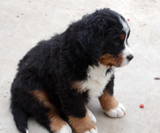 My Baby Odin, Bernese Mountain Dog Puppy. marchmatron.com