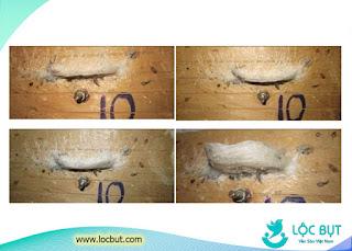 Giai đoạn chim yến quẹt tổ và chuẩn bị đẻ trứng.
