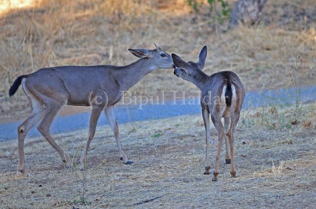 Animal Affection, A pair of Mule Deers Kissing