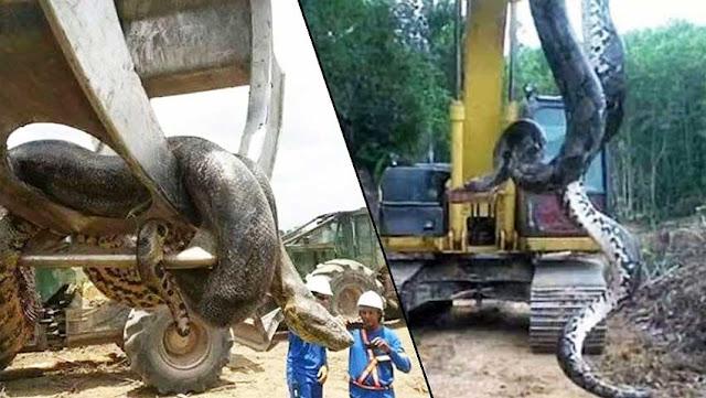 Бразильские строители, вскрыв пещеру, обнаружили 10-метровую анаконду весом около 400 кг