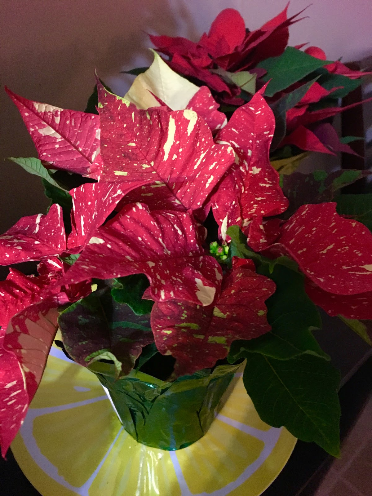 My Apartment Plants: Poinsettia: How to keep it alive past ...