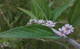 ramo-com-flores-da-erva-cidreira-brasileira