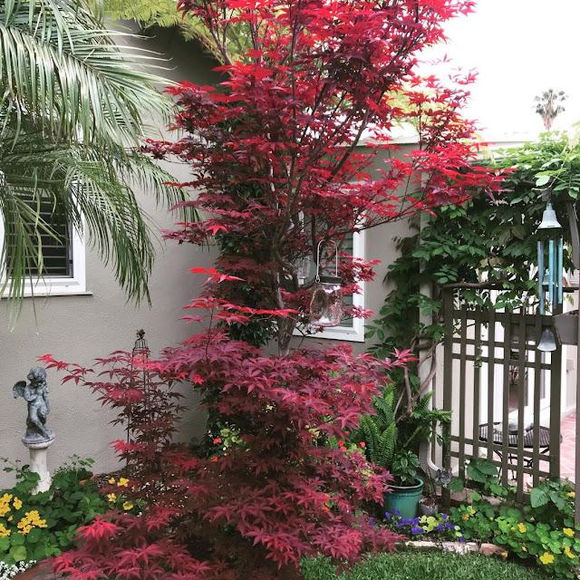 red emperor maple