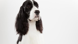 Everything about your English Springer Spaniel