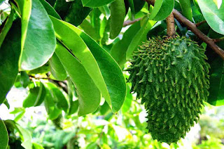 Soursop Leaves for Cancer