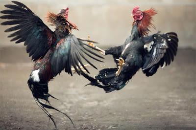 Kekejian Sabung Ayam