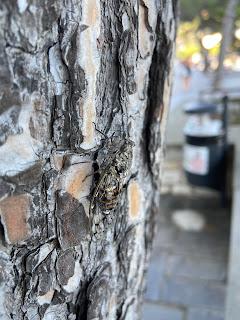 Cicada orni on pine tree  - Portovenere